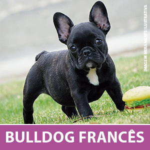 bulldog-frances.png