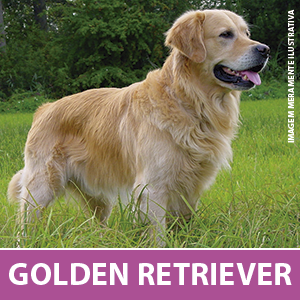 golden-retriever1.png